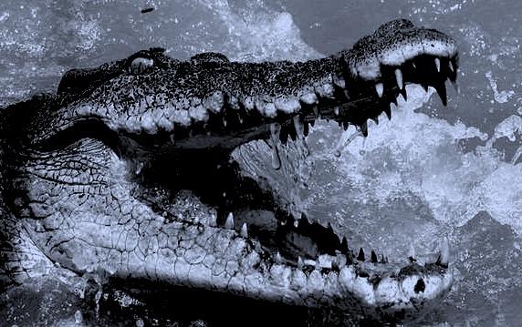 Bisweile-erschreckend-Eine-Begegnung-mit-einem-Krokodil-Symbolbild-